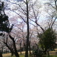 元淵江公園の桜